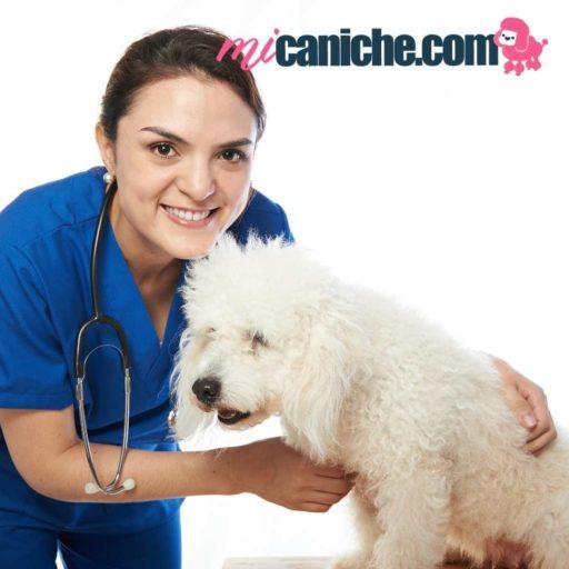 Cómo detectar las enfermedades más comunes en un caniche. Consultar siempre a tu veterinario para un buen diagnostico y tratamiento de l perro
