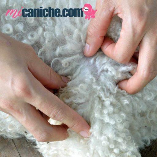 Revisa bien la dermis de tu caniche para saber si necesita un tratamiento o pipeta, pero antes de aplicar consulta a tu veterinario.