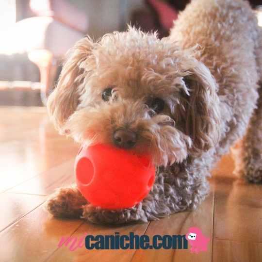 Los cachorro caniche aman jugar con pelotas. Es una excelente opción de juguetes para ellos.
