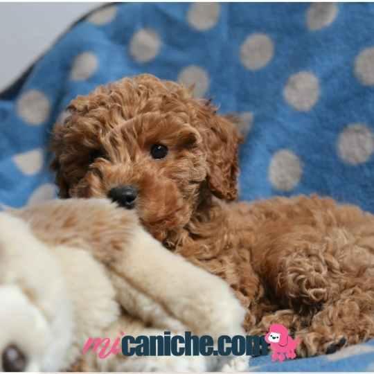 Una manta y un peluche los imprescindibles para la cama de tu cachorro caniche bebé.