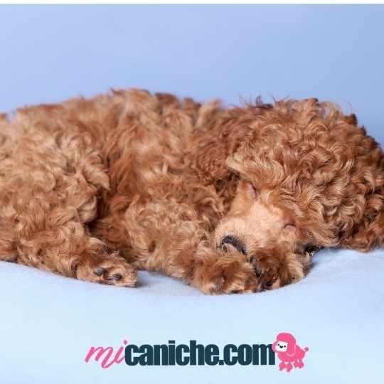 Cachorro caniche durmiendo. Los cachorros caniche duerme gran parte del día.