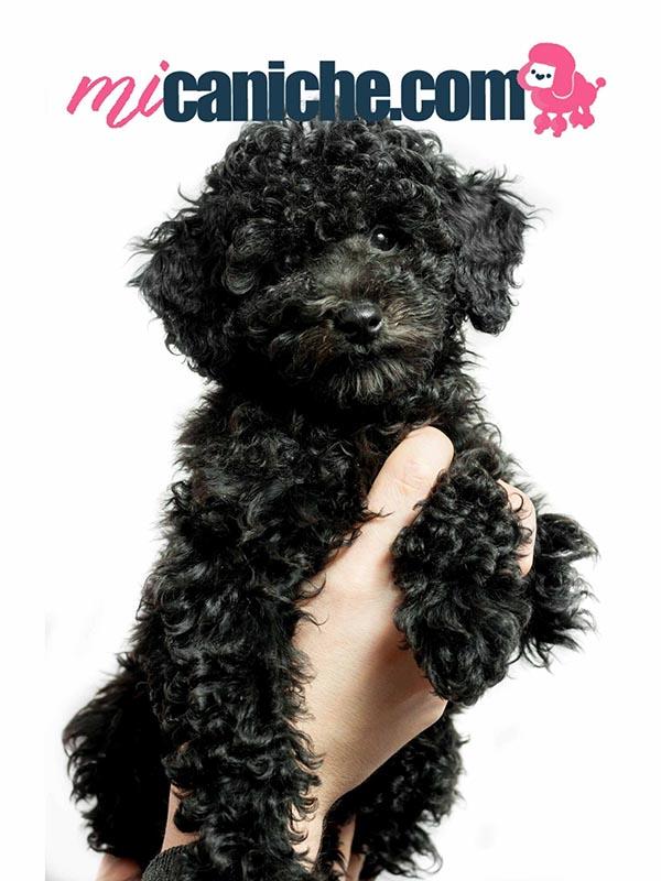 Cachorro caniche toy negro. Caniche micro toy negro bebé. caniche mini toy COLOR NEGRO AZABACHE
