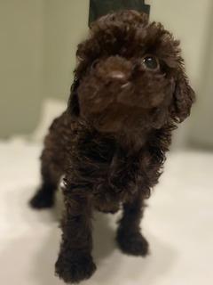 Un caniche Micro toy chocolate cachorro