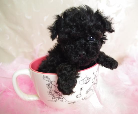 Caniche micro toy negro bebé. Caniche tacita de té (así también son llamados estos poodles) color negro en taza rosa. caniche tacita de té