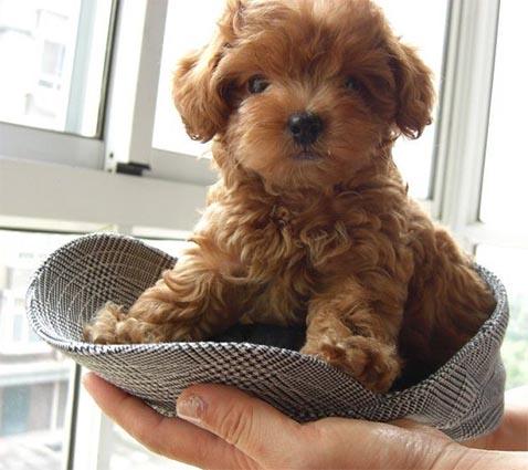 Un caniche micro toy dentro de una gorra, son tan pequeños estos perritos