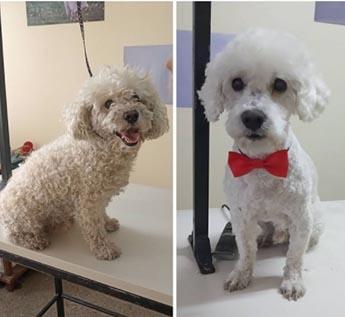 Peluquería canina España en Mendoza, Argentina. Caniche blanco antes y después de su corte de pelo.