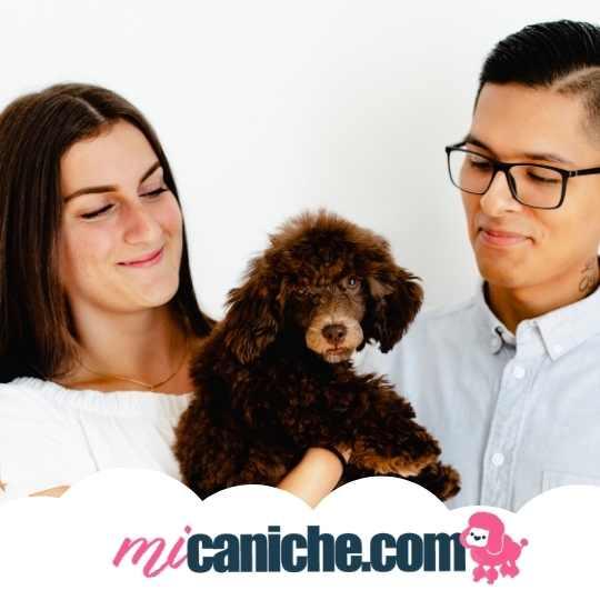 En micaniche.com te contamos todo sobre cómo adoptar un caniche - Caniches toy en adopción