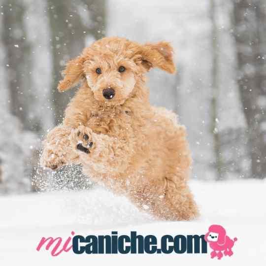 Un cachorro caniche apricot jugando en la nieve