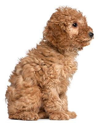 Caniche color canela cachorro sentado
