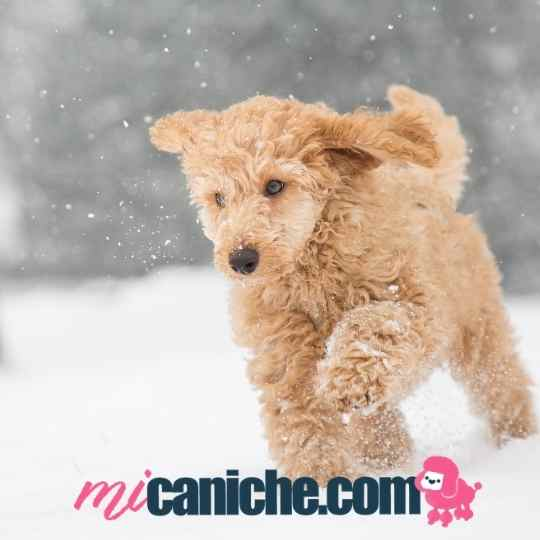 Un bonito caniche color canela o apricot jugando en el nieve.