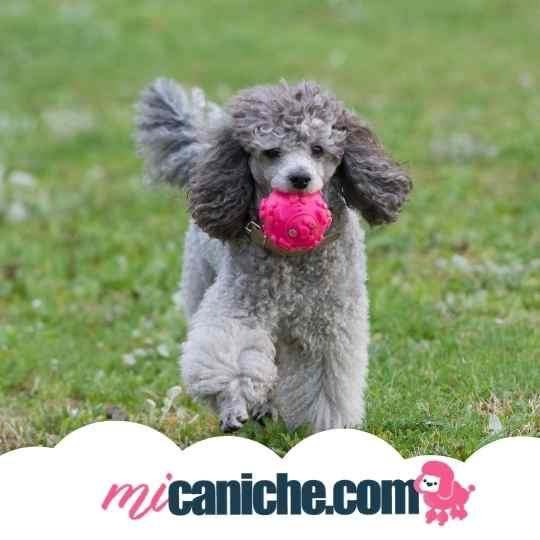 Caniche Gris jugando a la pelota. Caniche enano gris.