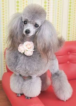 Hermoso caniche toy gris