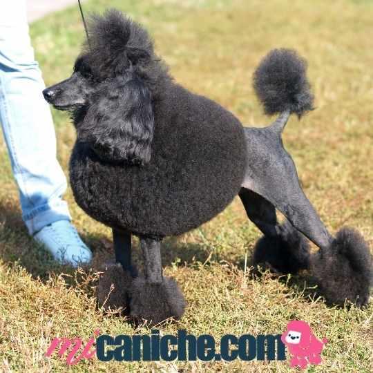 Un caniche mediano negro azabache en una exhibición canina. Con corte típico de la raza.