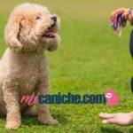 Cómo educar un caniche toy cachorro