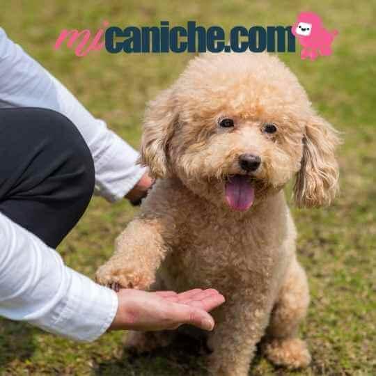 ¿Cómo educar un caniche toy cachorro?