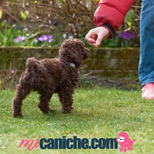 Educar un caniche toy cachorro requiere paciencia y constancia.