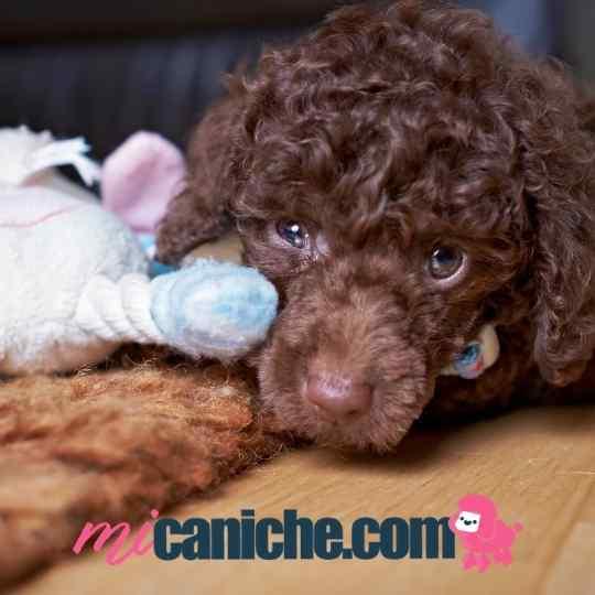 Cachorro caniche toy color chocolate con su peluche