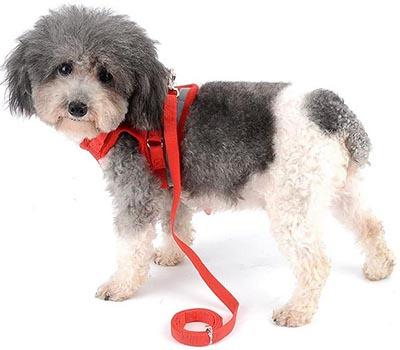 Caniche toy con arnés Zunea