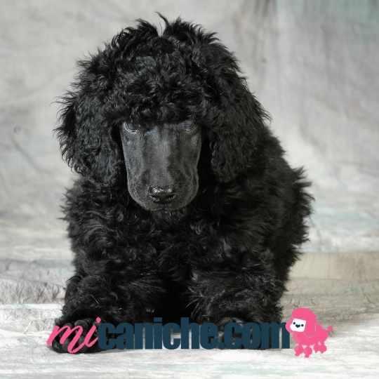 Cachorro caniche gigante color negro azabache