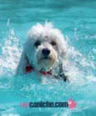 caniche un perro de agua