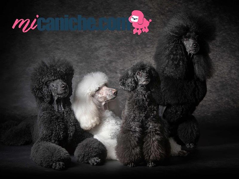 Hermosa familia de caniches gigantes de colores negros y blanco