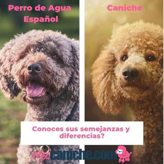 diferencias entre caniche y perro de agua español
