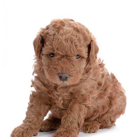 caniche bebé de 45 días cachorro