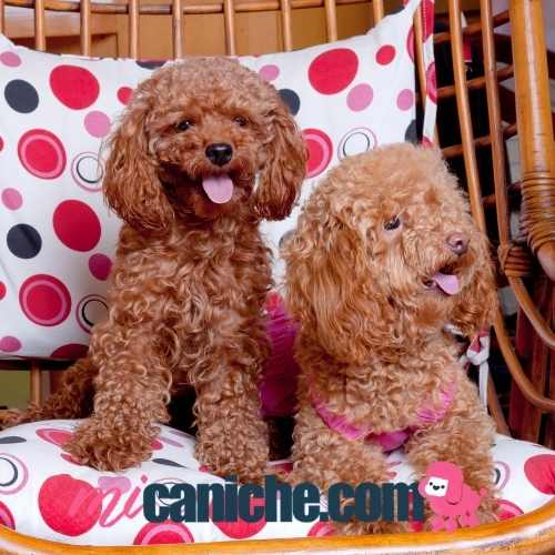 Dos caniches toy sobre una silla. Adorables ❤