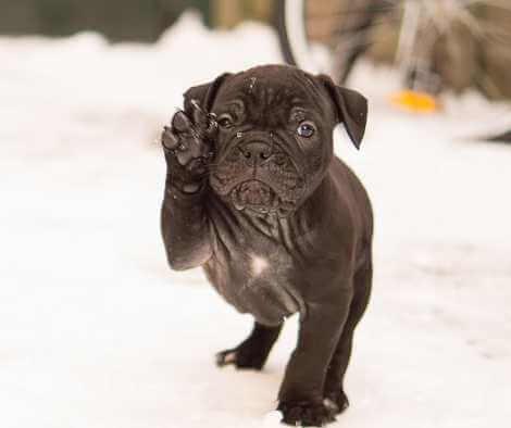 Bulldog francés cachorro