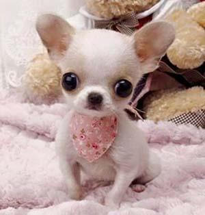 Perro chihuahua cachorro