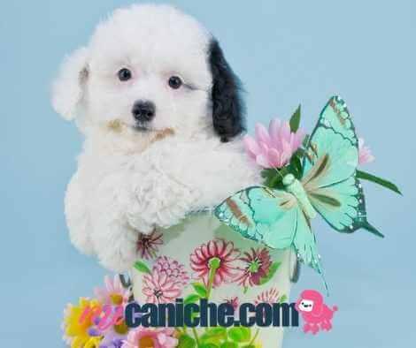 Caniche arlequín cachorro con flores de primavera. Caniches
