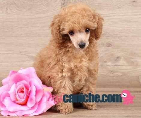 Caniche toy en primavera - cachorro