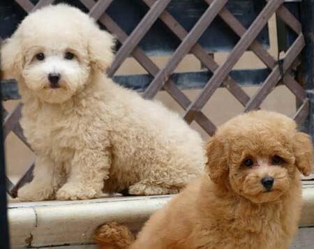 Hermosos cachorros caniches en Alicante.