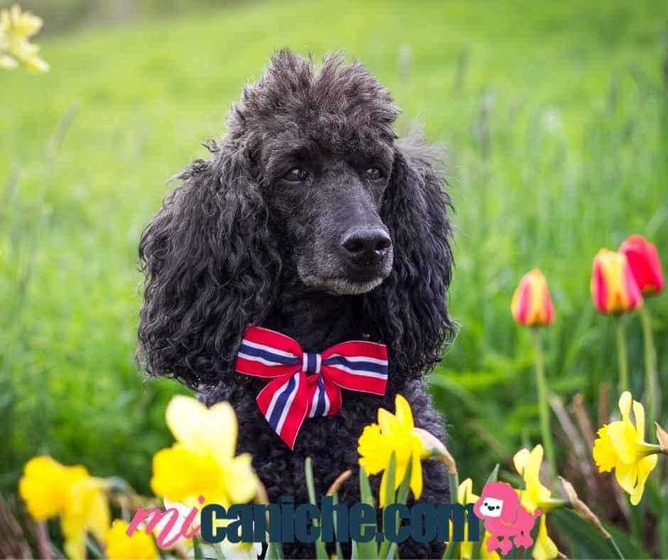 as flores son muy bonitas, pero debes ser precavido con tu caniche en primavera