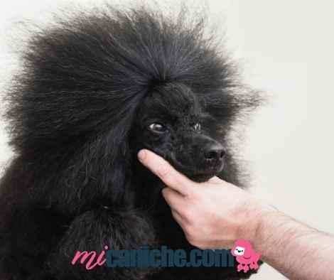 Un experto examina un caniche puro en exhibición canina para otorgarle el certificado de pedigree en España.