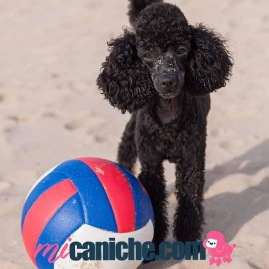 Qué les gusta a los caniches? Jugar al aire Libre, la playa o el parque son sus lugares preferidos