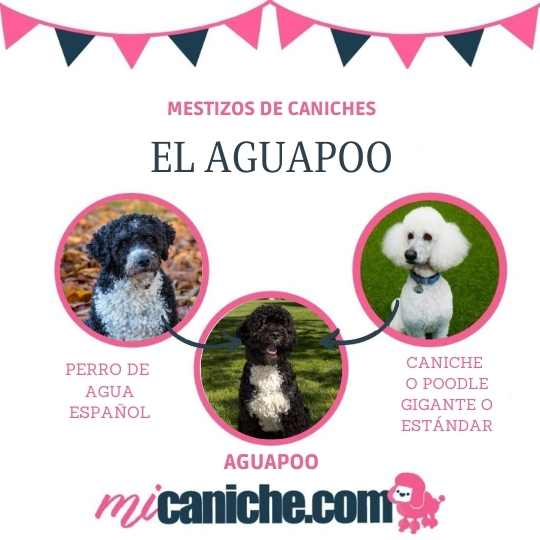 El aguapoo - mestizo de perro de agua español y caniche.
