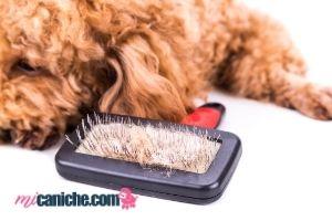 Si a un caniche se le ce el pelo se debe buscar la causa para encontrar una solución, ya que no es normal.