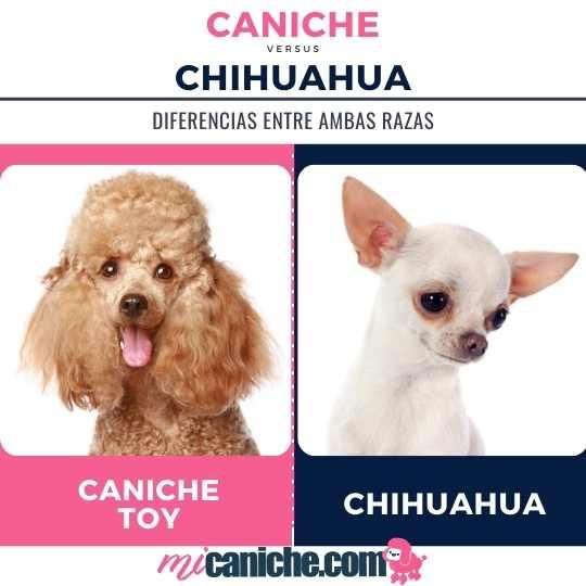 Caniche toy color rojo o chihuahua de pelo corto blanco- comparativa en fotos de los tipos más populares de cada raza. No son adorables? 💗