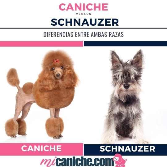 Caniche o Schnauzer con cuál raza te quedas?