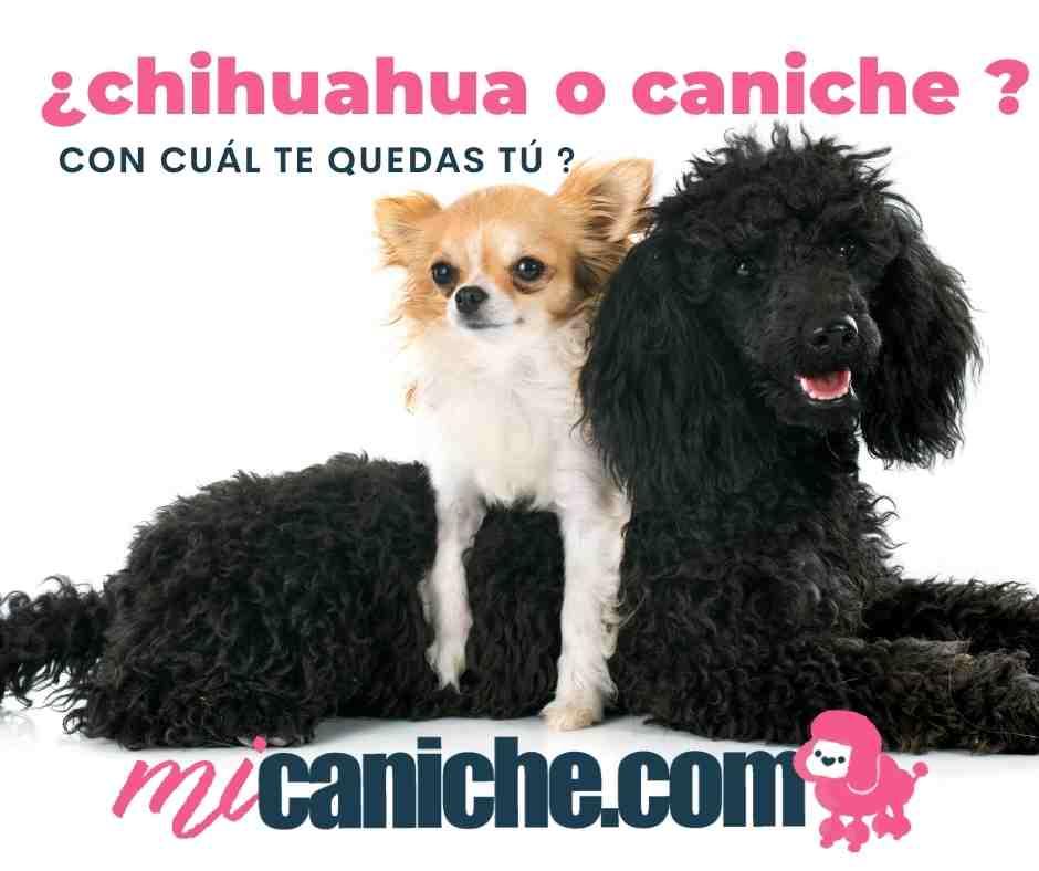 Chihuahua o caniche? Descubre con nosotros cuál es la raza de perro toy ideal para ti.