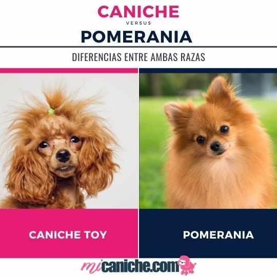 Caniche o Pomerania ? Con cuál te quedas?