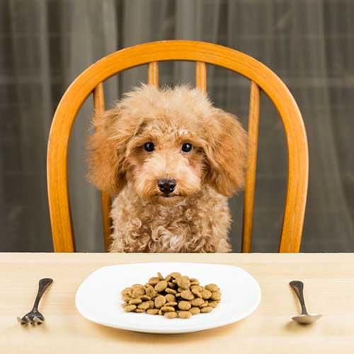 La mejor forma de alimentar a tu perro caniche es con pienso balanceado de calidad. La mejor comida para un caniche. Aquí!