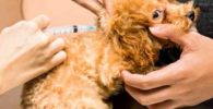 vacunas cachorro caniches poodle