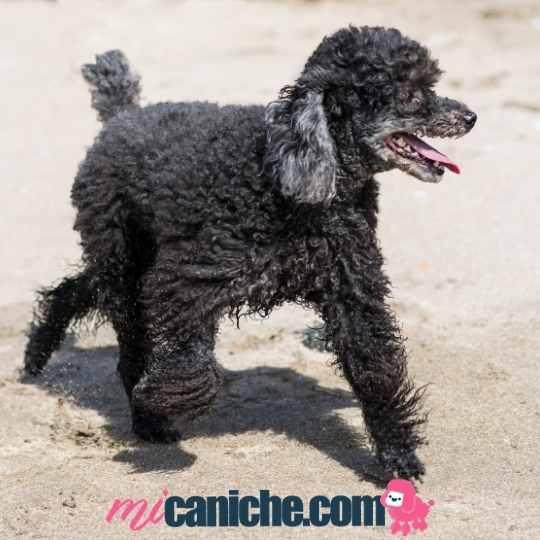 Caniches en la playa y la limpieza de la arena de su pelo