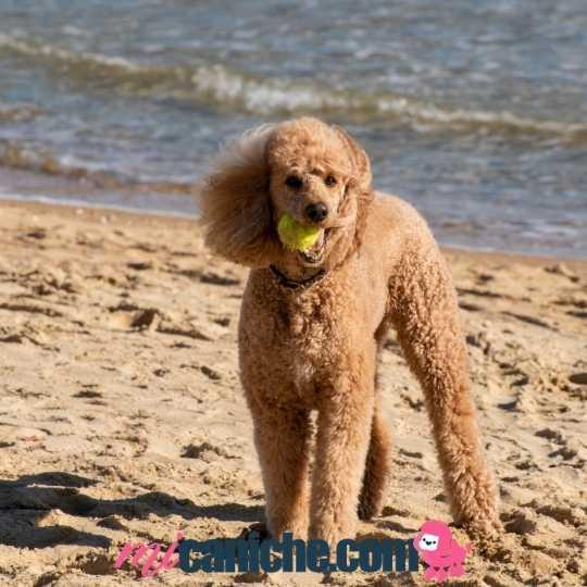 Un caniche gigante en la playa jugando con una pelota