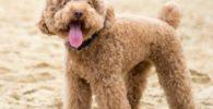 caniches en la playa - perro