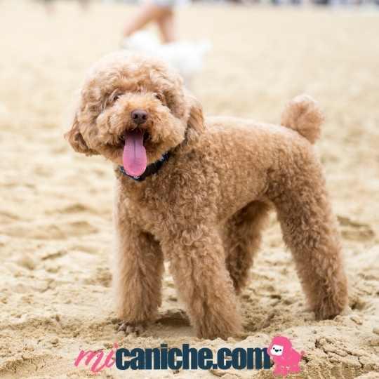 Caniche enano color apricot disfrutando en la playa en verano.