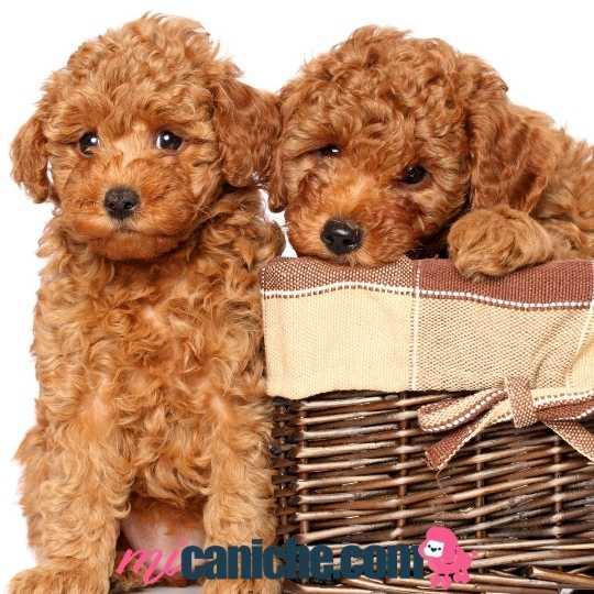 Cachorros caniche toy en Asturias, dónde encontrar?