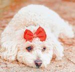 Ansiedad por separación del perro caniche